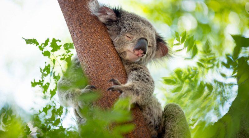 reconocimiento facial al rescate de koalas
